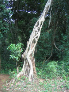d0cec2dded2 Ficus aurea is a strangler fig. In figs of this group